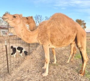 Camels are one of the tallest mammals with long gestation period