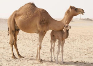Camels have one of the longest legs among animals