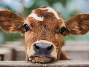 Cows also have long eyelashes making them look very attractive