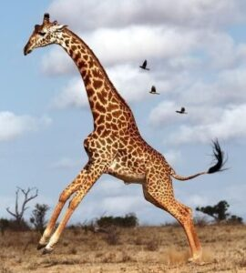 What animal has the longest legs? Giraffe has the longest legs in the animal kingdom