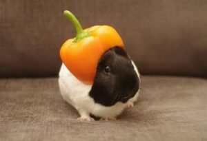Guinea pig as a pet can be easily tamed