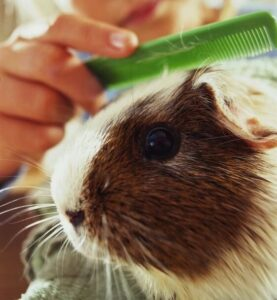 Guinea pigs need to be groomed at least once a week
