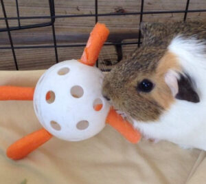 Guinea pig needs toys and enrichment to keep them busy