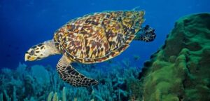 Hawksbill Turtle are critically endangered species and the most endangered sea turtle