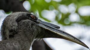 Indian Grey Hornbill have long and beautiful eyelashes.