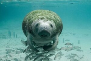 Manatees have one of the longest pregnancy period in the sea world