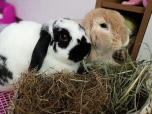 To care for pet rabbits, it is necessary to supplement their diet with plenty of hay