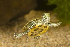 All turtles carry salmonella which can make you really sick