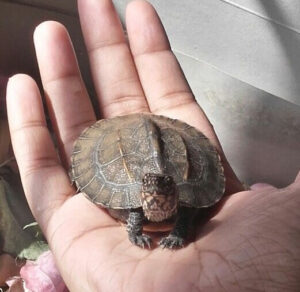Holding your pet turtle carefully is important as they might jump off your hand