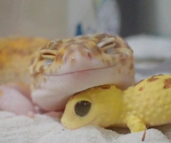 13 things you must know before getting a  Leopard Gecko as a pet
