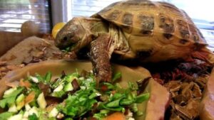 To care for pet turtles, feeding them with fresh fruits and vegetables is necessary
