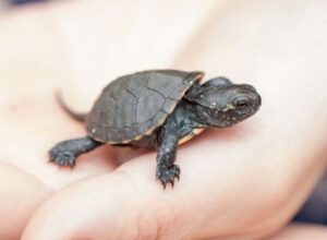 Check your pet turtle regularly for any signs of illness
