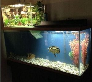Turtles need a large and spacious tank.
