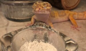 Leopard Geckos eating calcium in a bowl