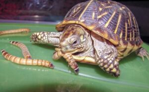 Turtles need animal protein from insects and worms
