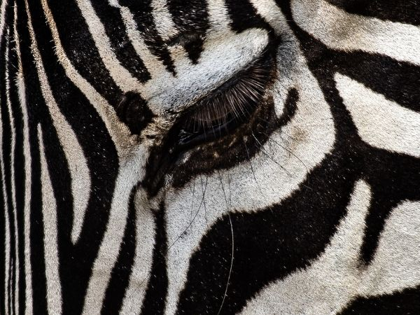 zoomed in view of zebras eyelashes