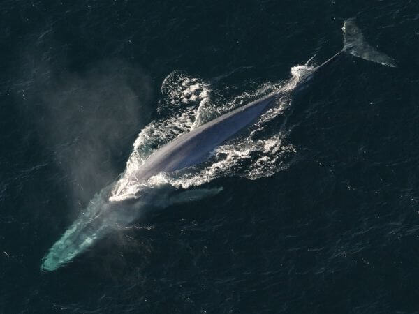 Antarctic Blue Whale is the biggest animal in the world