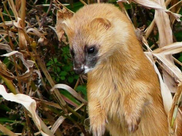japanese weasel standing in a forest.