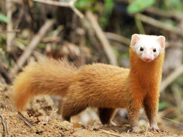 a japanese weasel standing with its long neck on all fours
