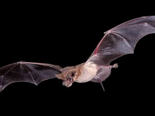 Mexican free-tailed bat in flight