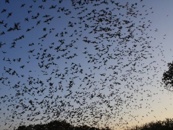 Mexican free-tailed bats exiting Bracken bat cave.