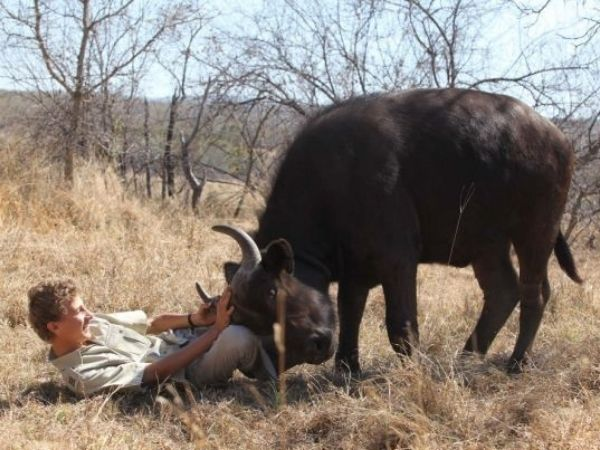 A 13 year old playing with his pet african buffaloes