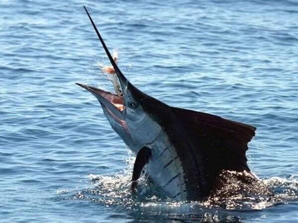 Black marlin fishing above the surface of water