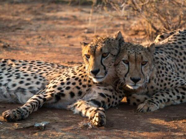 Northwest African cheetahs at Chester zoo, United Kingdom