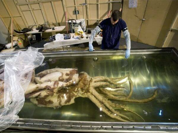 The largest Colossal squid going into its tank in 2008, Te Papa