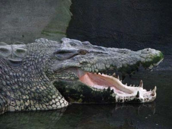 Pangil, the biggest, largest, and the oldest crocodile at the crocodile park, Philipines