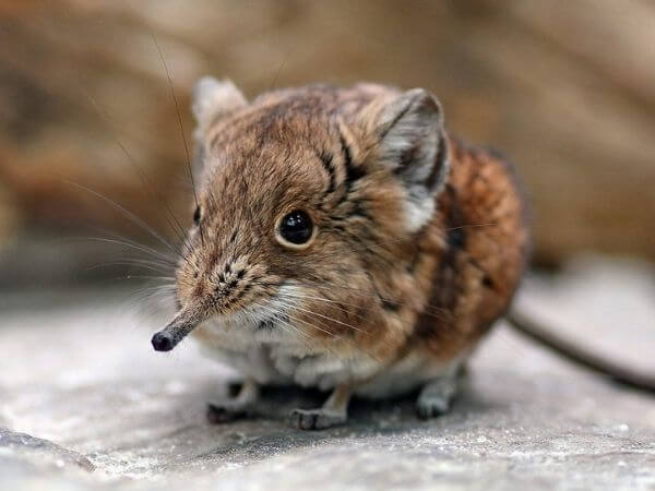 elephant shrew have a long trunk-like nose