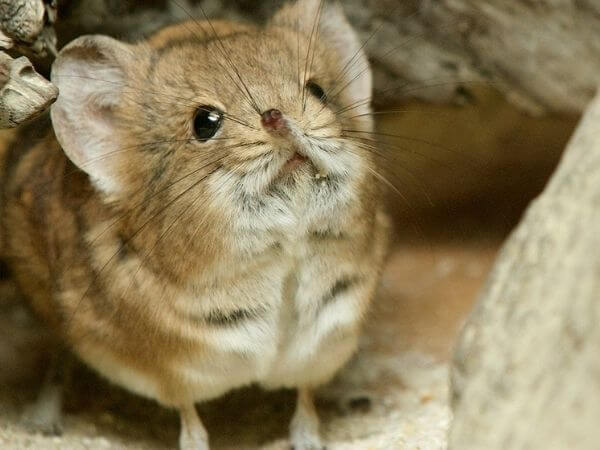 elephant shrew are one of the cutest animals in the world