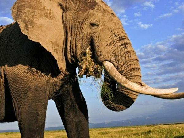 elephants are the largest land animals and one of the top contendors of the most dangerous animal in the world
