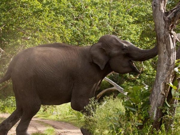A wild elephant rampaging trees in aggression in Kui Buri, Thailand