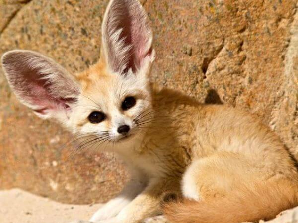 fennec fox with its large ears are one of the cutest animals in the world