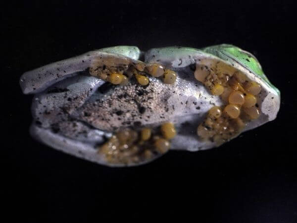 A glass frog showing off his toe pads