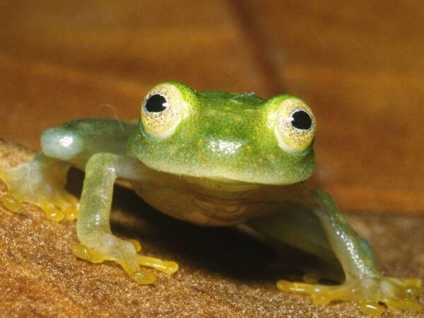 Deforestation is forcing the Glass frogs to leave their natural habitat