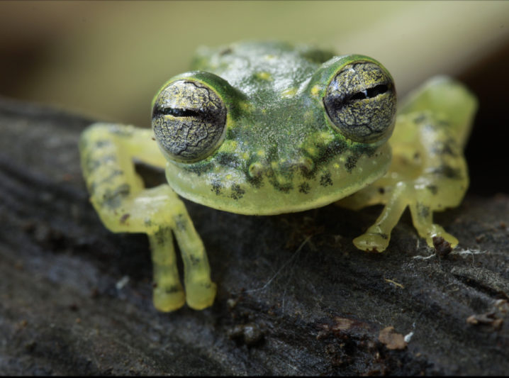 10 lesser known facts about Transparent Glass Frogs