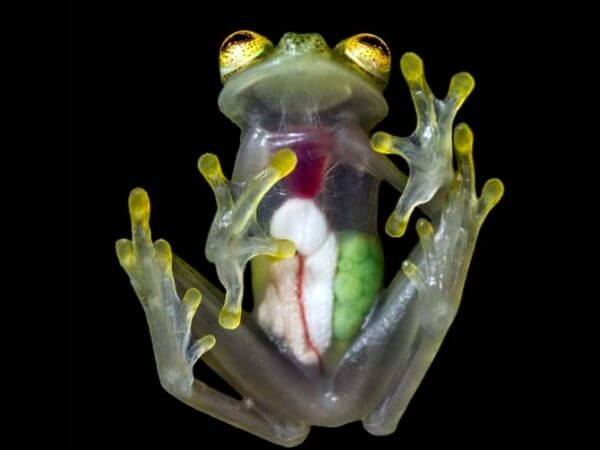 Glass frog facts