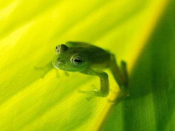 A Glass frog with round, sticky toe pads blends into a leaf