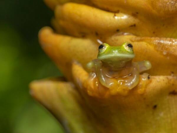 Glass frogs have unique pigment cells in their skin, helping them to camouflage effectively