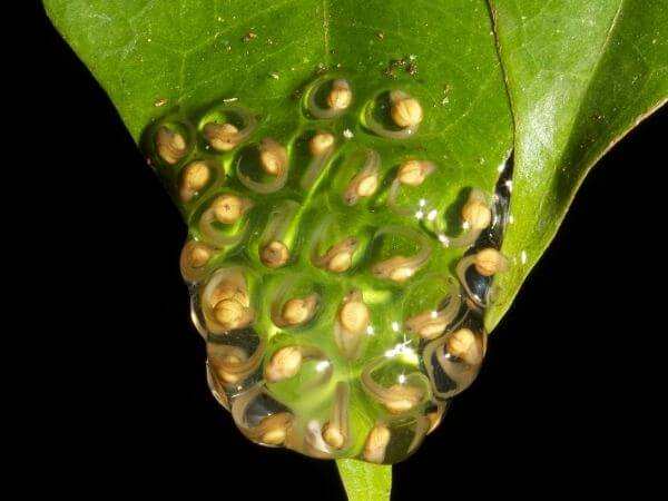 A transparent egg mass with developing Glass frog tadpoles