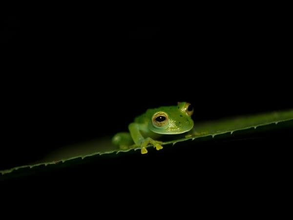 A young emerald Glass frog