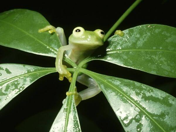 A Glass frog clinging to leaves