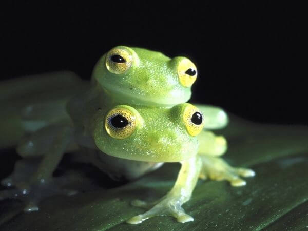 Two Glass frogs mating.
