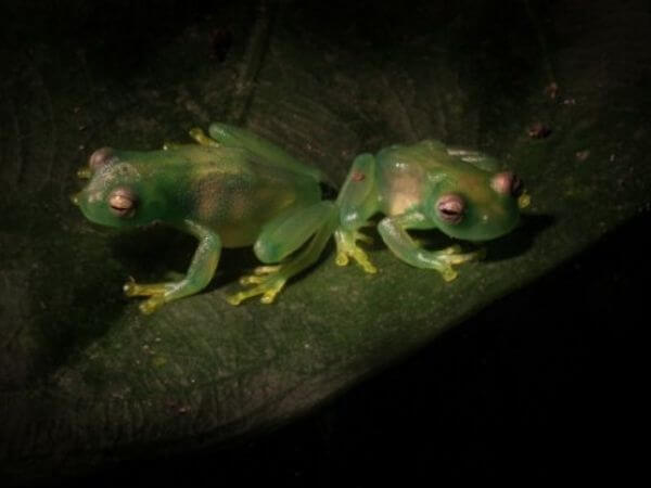 Glass frogs photographed at night with a flashlight