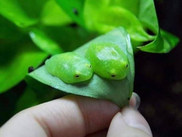 tiny glass frogs