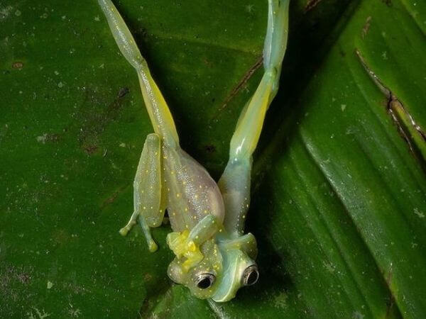 Two male cascade Glass frogs locked in territorial combat