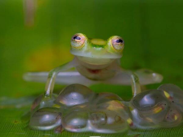 A Glass frog standing guard over its eggs.