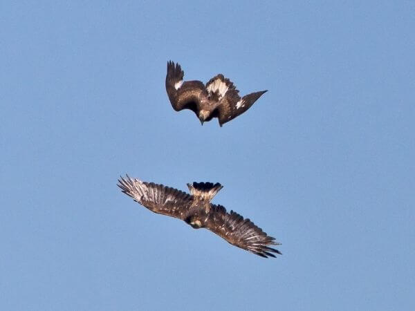 Two golden eagles in aerial conflict